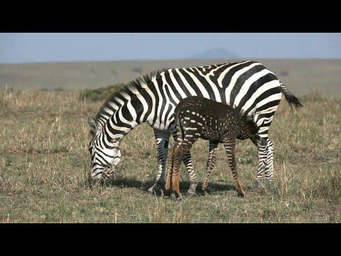 Kenia: Gepunktetes Zebra lockt Touristen in Scharen