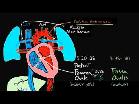 APII 20Study 20Guide 20H 20Circulatory 20System 20Head additionally Dioon edule var edule as well Pelvic Organs Diagram Female Pelvic Organs Human Body Diagram further Membrane Surrounding The Organs In The Abdominal likewise Cardiovascular system functions. on circulatory system and in