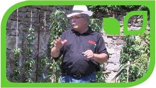 Die Geschichte des Apfels McIntosh oder  wie der Säulenapfel entstand