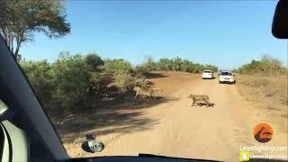 Hipopotam zupełnie olewa to, że jest atakowany przez lwy