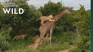 Rare Video Shows Lion Pride Try to Slay a Full-Grown Giraffe | Nat Geo Wild by Nat Geo WILD