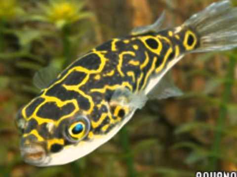 Pez de agua dulce fria videos videos relacionados con for Los mejores peces de agua fria