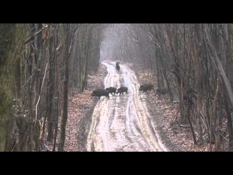 Wildboar Driven Hunt Austria