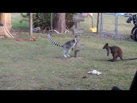 Kengur i lemur u igri – Uhvati me ako možeš