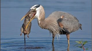 Blue Heron eats Different Animals ||  fish , Big fish , gopher , rat , turtle - Video Compilation