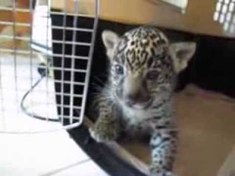 roar - A baby jaguar suckles my finger then lets out a 'chilling' roar - maybe scary when he's older!