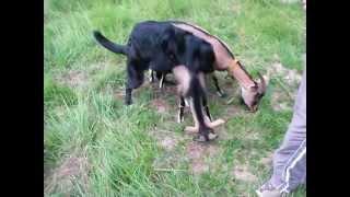 Video Dog Mating With Goat MP3, 3GP, MP4, WEBM, AVI, FLV April 2019