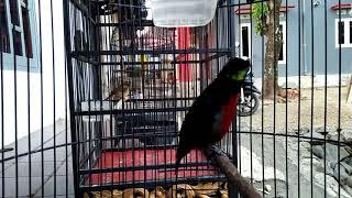 Download Video kolibri ninja nagen 10 menit bongkar isian MP3 3GP MP4