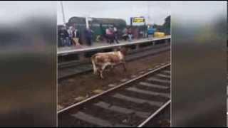 Корова на путях