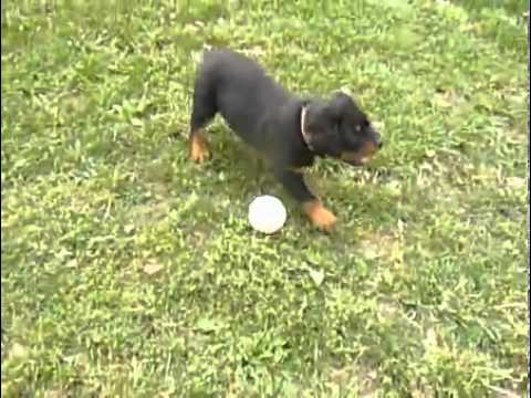 AKC GERMAN ROTTWEILER  MALE**KI**