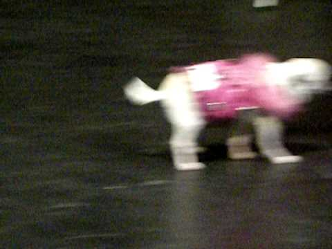 Jules the Chihuahua at the 2009 Barking Beauty Pageant NYC