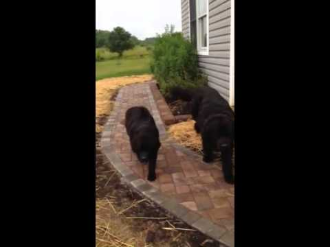 Large dog is Dad of black pup for sale