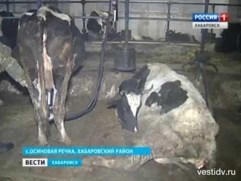 """Вести-Хабаровск. В сельхозпредприятии """"Заря"""" погибают коровы"""