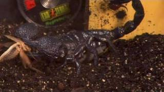 How To Take Care Of Emperor Scorpions
