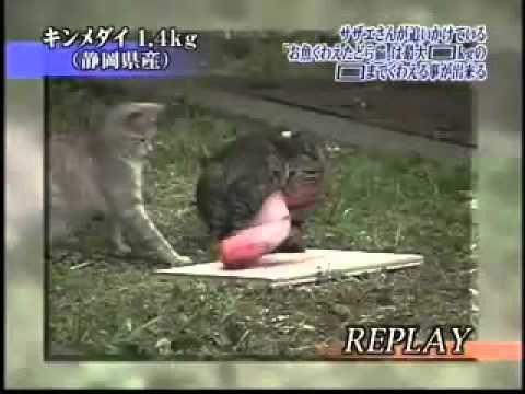 測試野貓能搬走多重的魚~