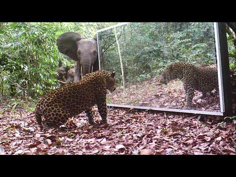 Elephants vs. Leopard by Day - des éléphants face à mâle panthère accro au miroir