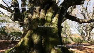 天城のブナの動画素材, 4K写真素材