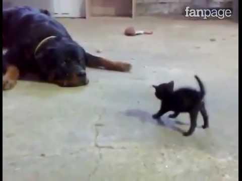 incontro di un gattino con un rottweiler