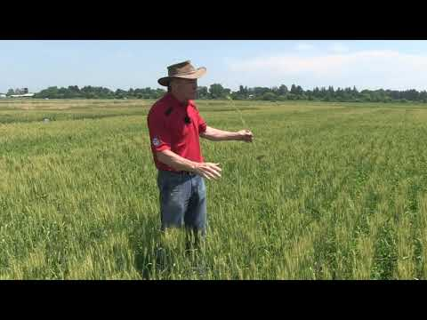 Wheat School -  Harvesting Variable Wheat