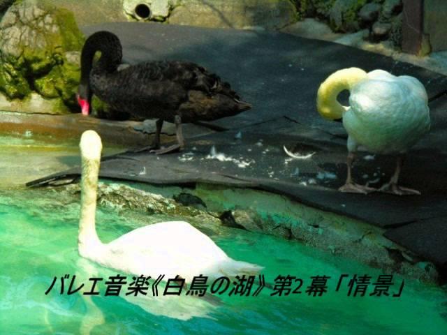 バレエ音楽《白鳥の湖》 第2幕 「情景」 (チャイコフスキー)