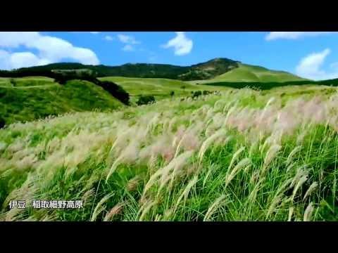 黄金の輝きを満喫♪細野高原すすき原