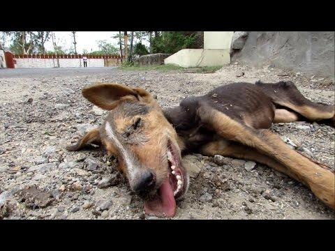 這隻流浪狗躺在路邊快要斷氣,看到傷害她的人類卻還是搖著尾巴…