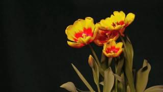 Tulip Time Lapse