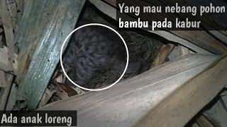 Download Video Awalnya warga mau nebang pohon bambu di hutan,ternyata ada kucing loreng bersarang MP3 3GP MP4