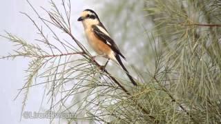 Video Masked Shrike perching (חנקן נובי) MP3, 3GP, MP4, WEBM, AVI, FLV Agustus 2018