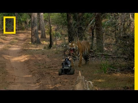 tiger - Photographer Steve Winter tries out a unique gizmo to get an in-your-face view of tigers. Upcoming Events at National Geographic Live! http://events.national...