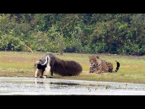 Jaguar Stalks Giant Anteater Only To Watch It Walk Off