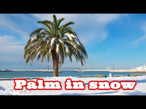 Пальмы под снегом. Palm trees in snow