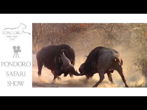 Buffalo Bulls Fighting - Must See Action