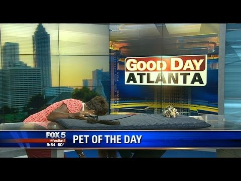 Excited - A 'frisky kitty' takes an excited leap off the set of Good Day Atlanta during a 'Pet of The Day' segment. The energetic kitten was not injured. SLOW MOTION: https://www.youtube.com/watch?v=rKPYFCh...