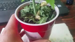 Marijuana Bush by Medically Fit