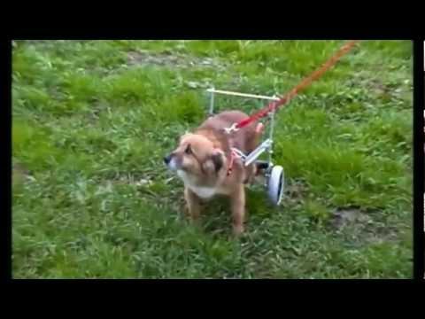 Anteprima Video Riabilitazione di Bruto: Cane di 14 anni con osteosarcoma arto anteriore sinistro