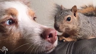 Stewart the squirrel fell out of a tree as a baby, but he was rescued and given a new home. That's where he met his BFF, Callie the Miniature Australian Shep...