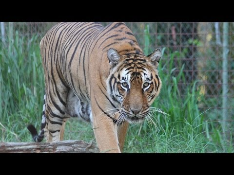 III - Tigers and leopards are purr-ticipating in this fascinating experiment on animal learning! Big Cat Rescue is the largest accredited sanctuary in the world de...
