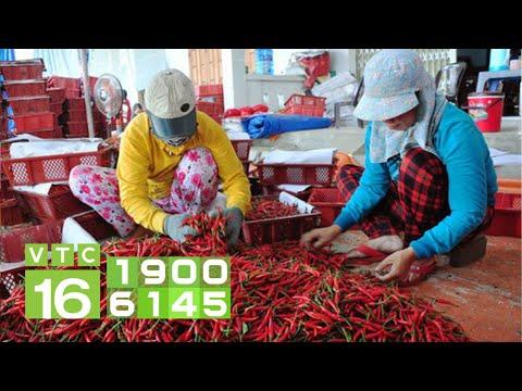 Trung Quốc không ngừng nhập khẩu, doanh nghiệp mua bán ớt phá sản | VTC16