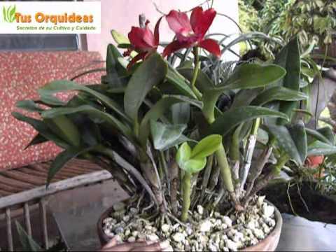 Orquideas Cattleyas e Hibridos. Cuidados