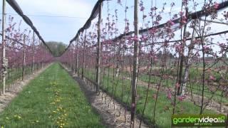 A commercial Redlove apple plantation