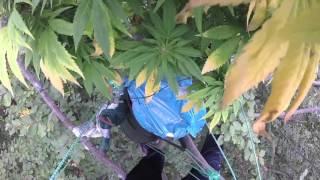 Plantacja marihuany w lesie, ale nie tam, gdzie byś pomyślał…