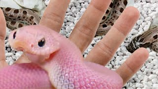 HATCHED PINK HOGNOSE SNAKES!! INSANELY COOL!! | BRIAN BARCZYK by Brian Barczyk