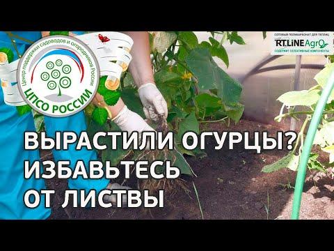 Сплошная уборка огурца. Выращивание огурцов в теплице.