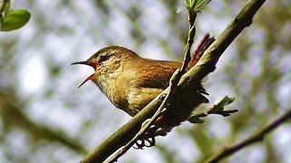 Wren Singing - Tiny Bird with a Giant Voice