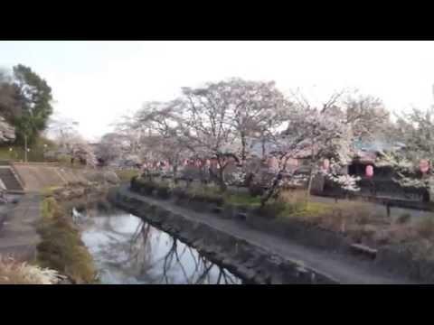 真岡市の桜 城山公園 真岡小学校下 2014.4.2