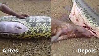 Niesamowite co Ci ludzie wydobyli z brzucha ogromnego węża!