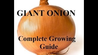 How To Grow Big Onions - Complete Growing Guide