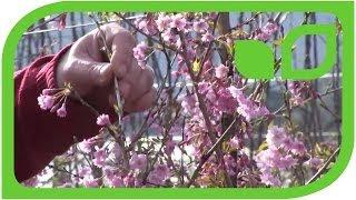 Lubera is testing flower cherry varieties