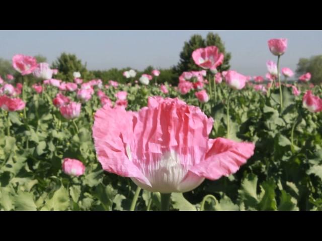 گزارش نهاد اجتماعی خط نو در مورد افزایش کشت مواد مخدر در شمال افغنستان و ولایت بلخ